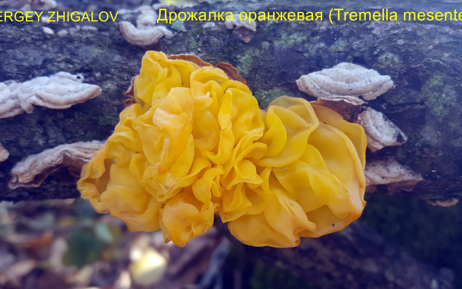Дрожалка оранжевая Tremella mesenterica
