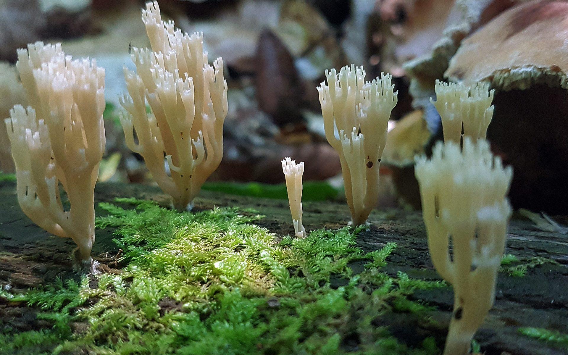 Клавикорона крыночковидная Artomyces pyxidatus