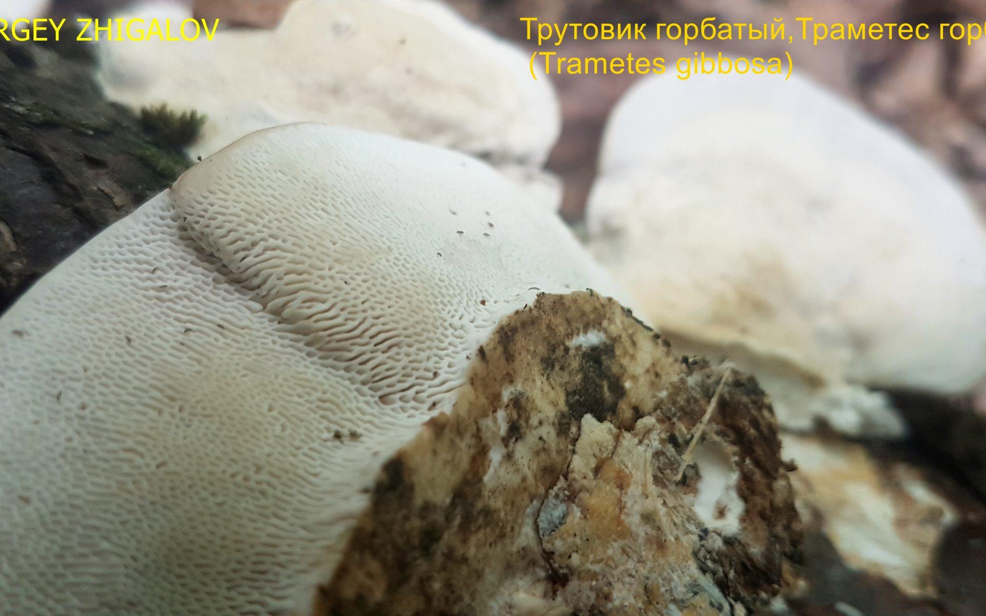Траметес горбатый Trametes gibbosa