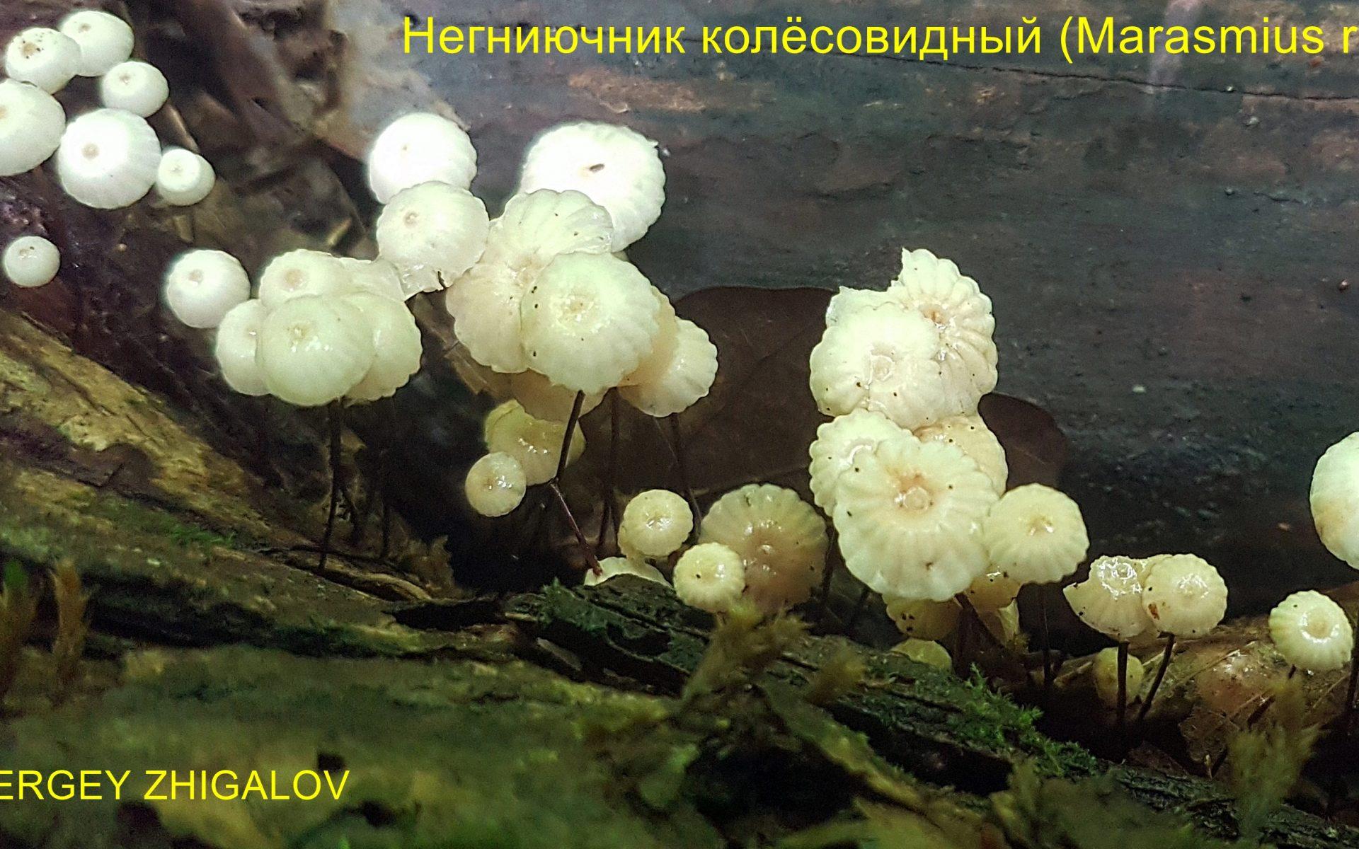 Негниючник колёсовидный Marasmius rotula
