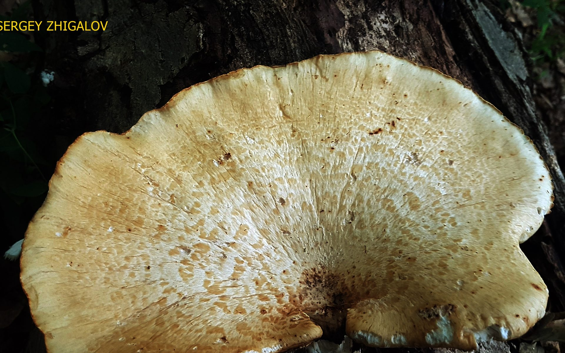 Трутовик чешуйчатый Cerioporus squamosus