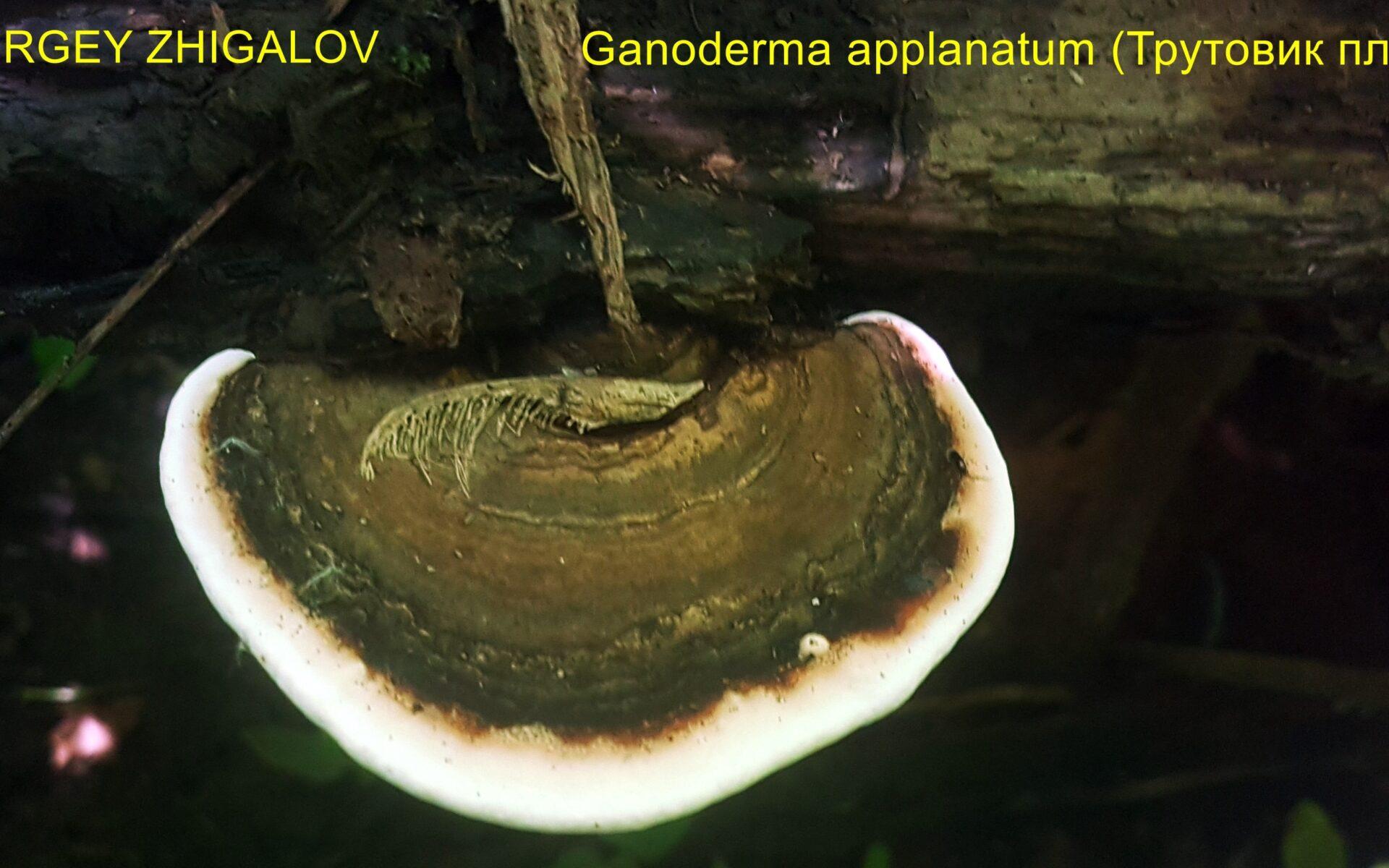 Трутовик плоский Ganoderma applanatum