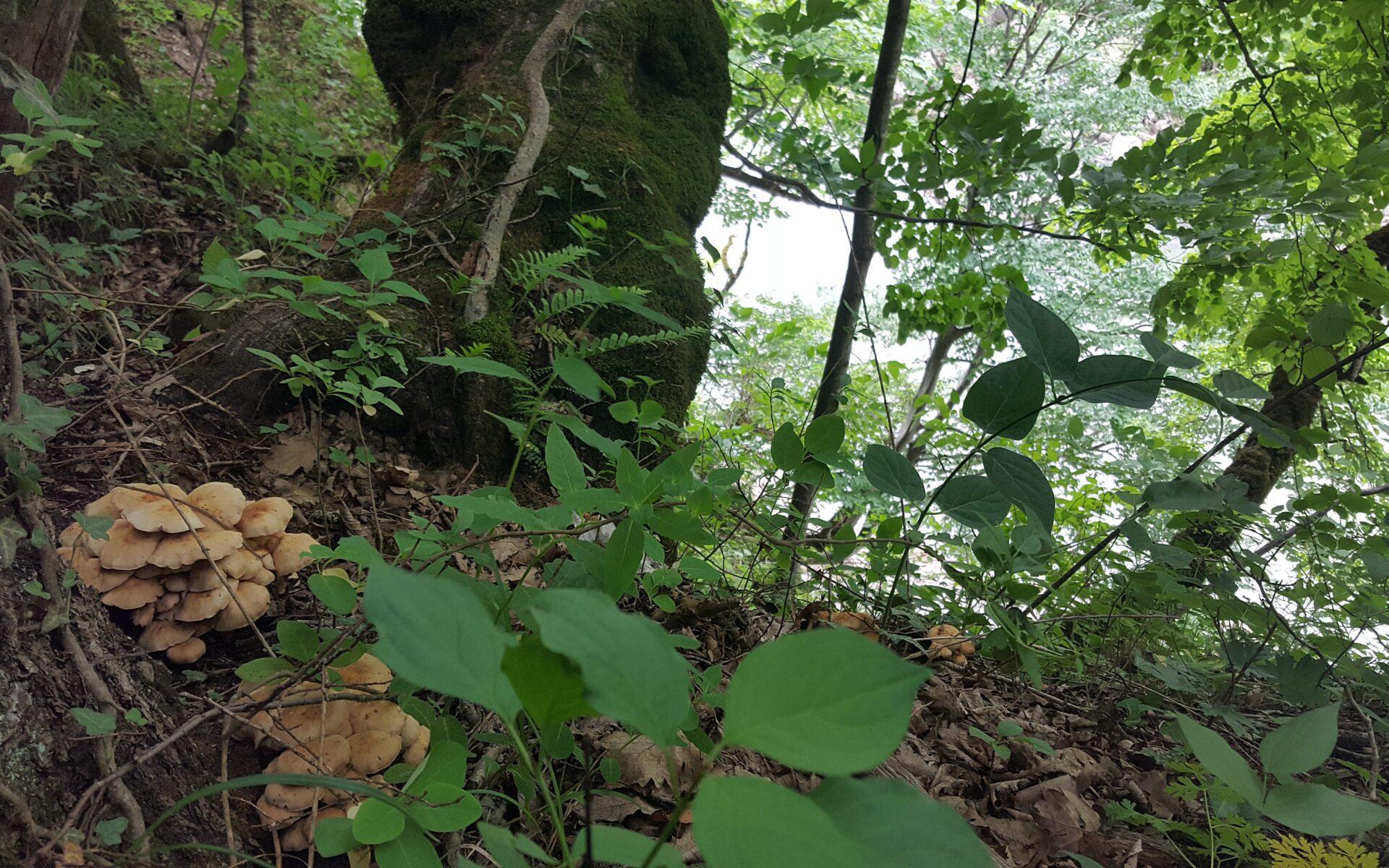 Коллибия веретеноногая Gymnopus fusipes