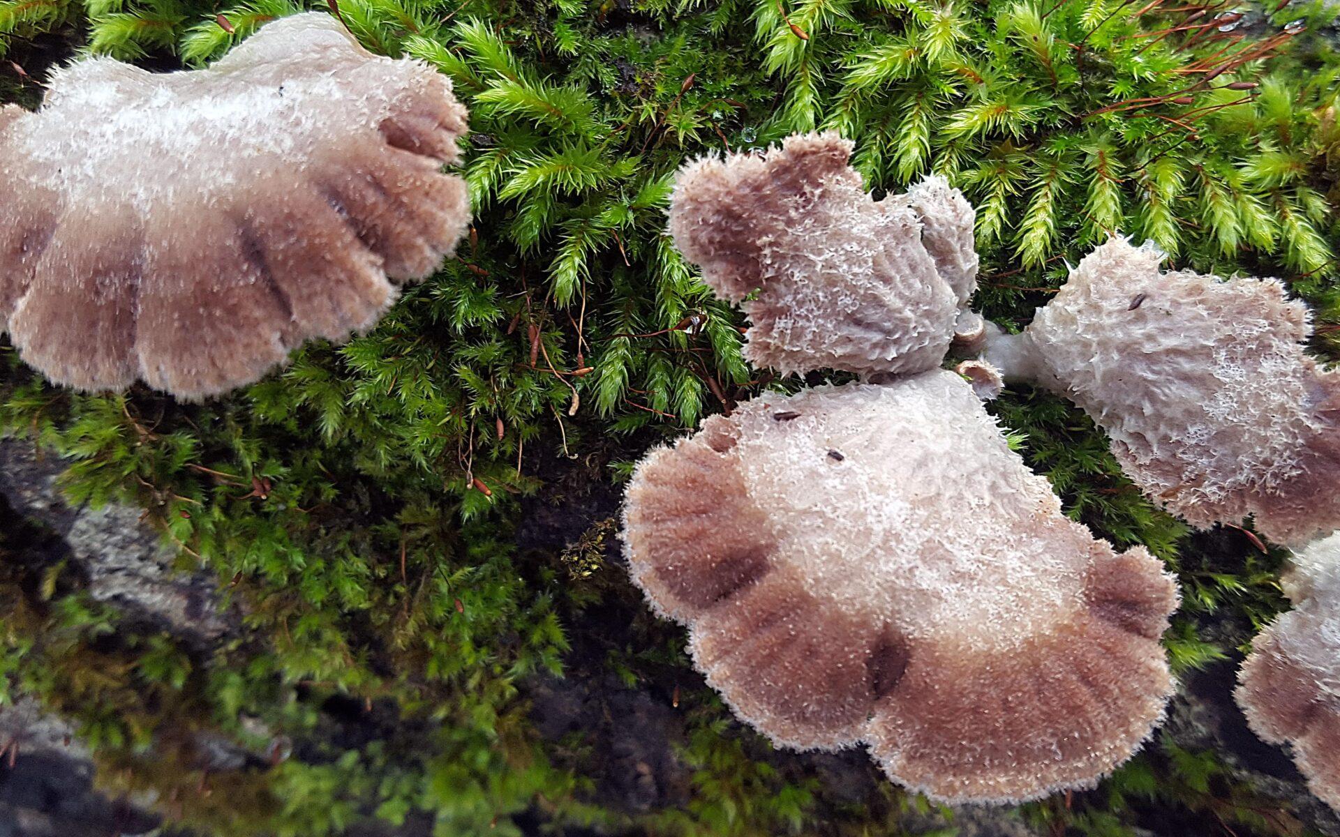 Щелелистник обыкновенный Schizophyllum commune
