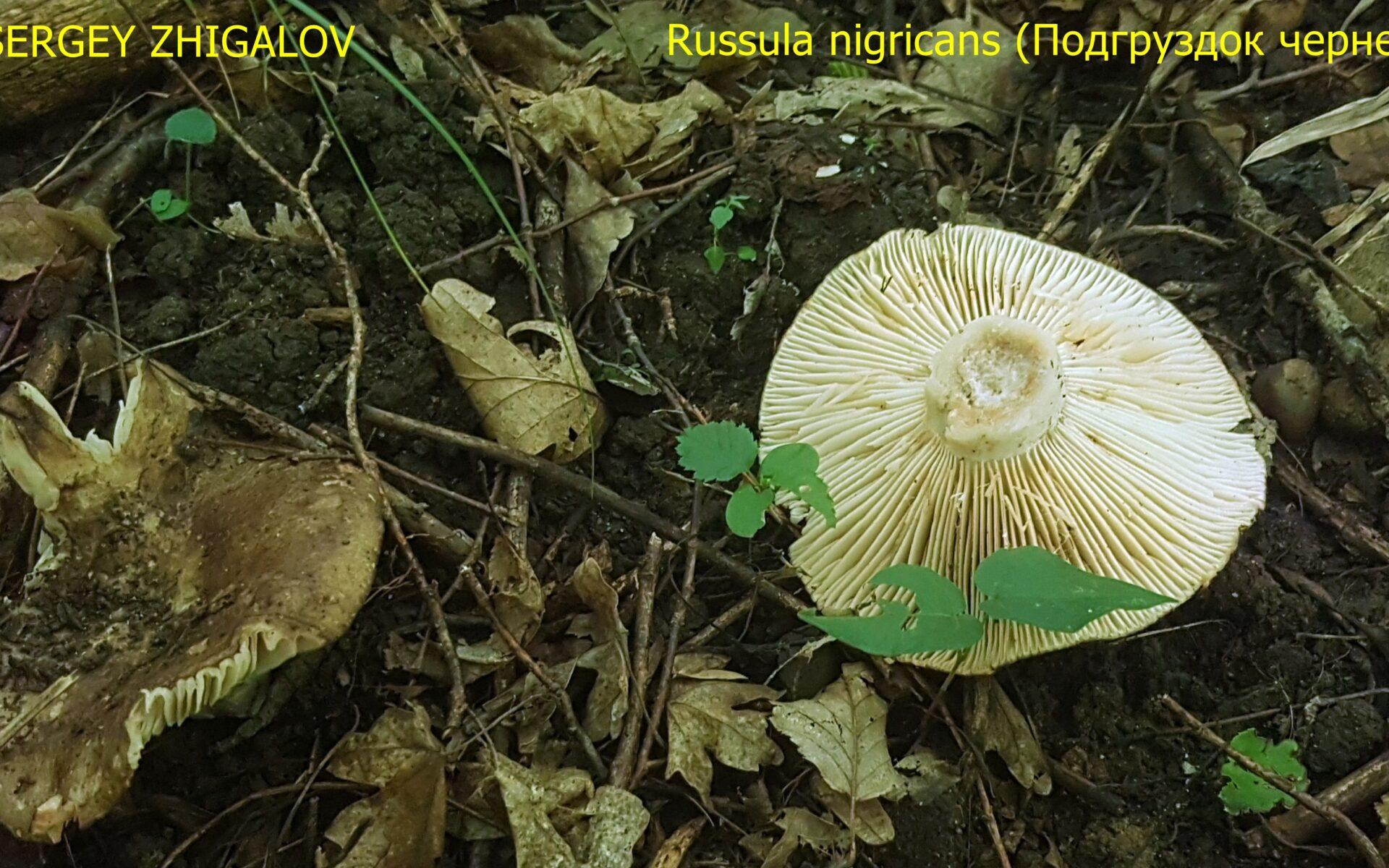 Подгруздок чернеющий Russula nigricans