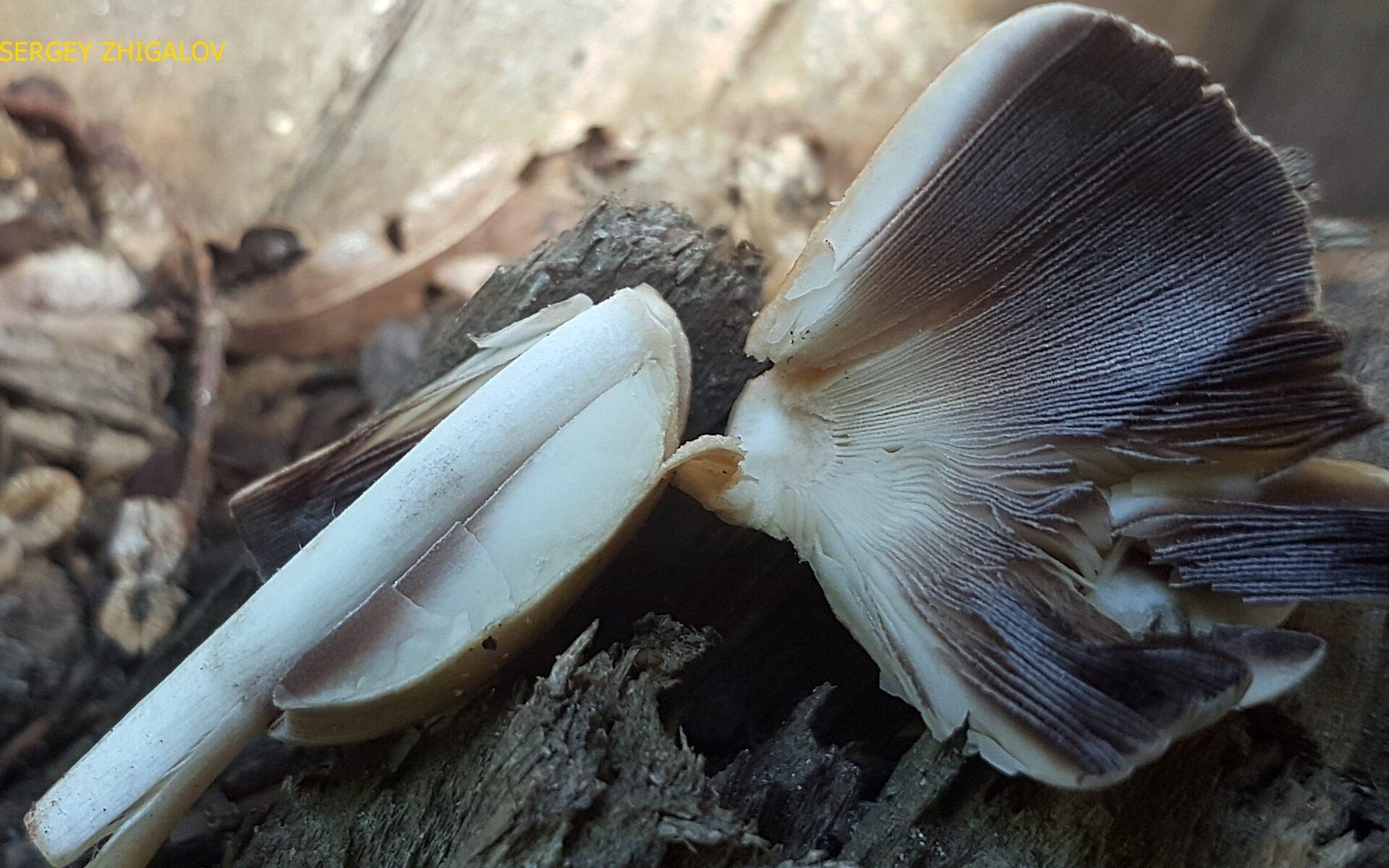 Навозник домашний Coprinellus domesticus