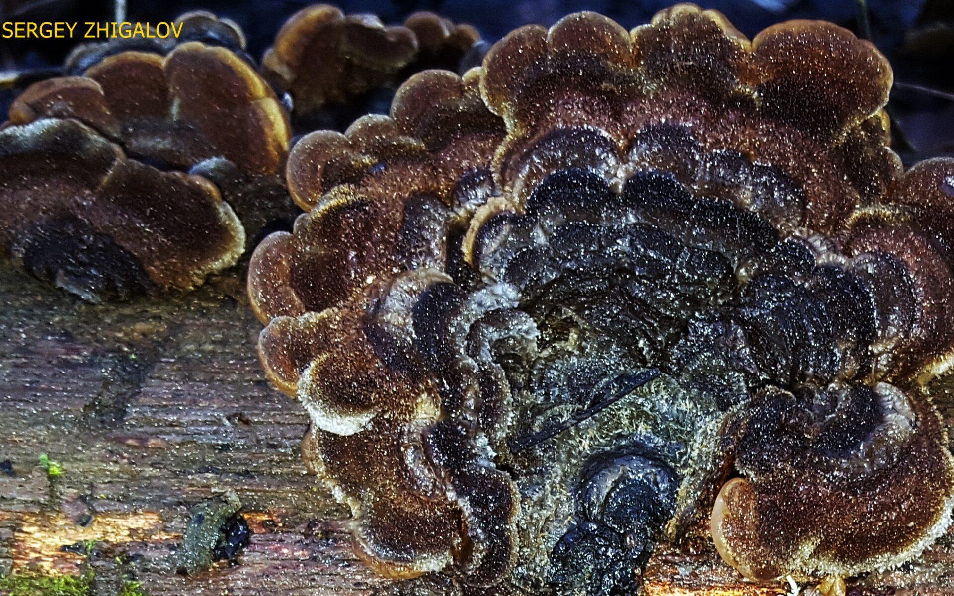 Аурикулярия извилистая Auricularia mesenterica