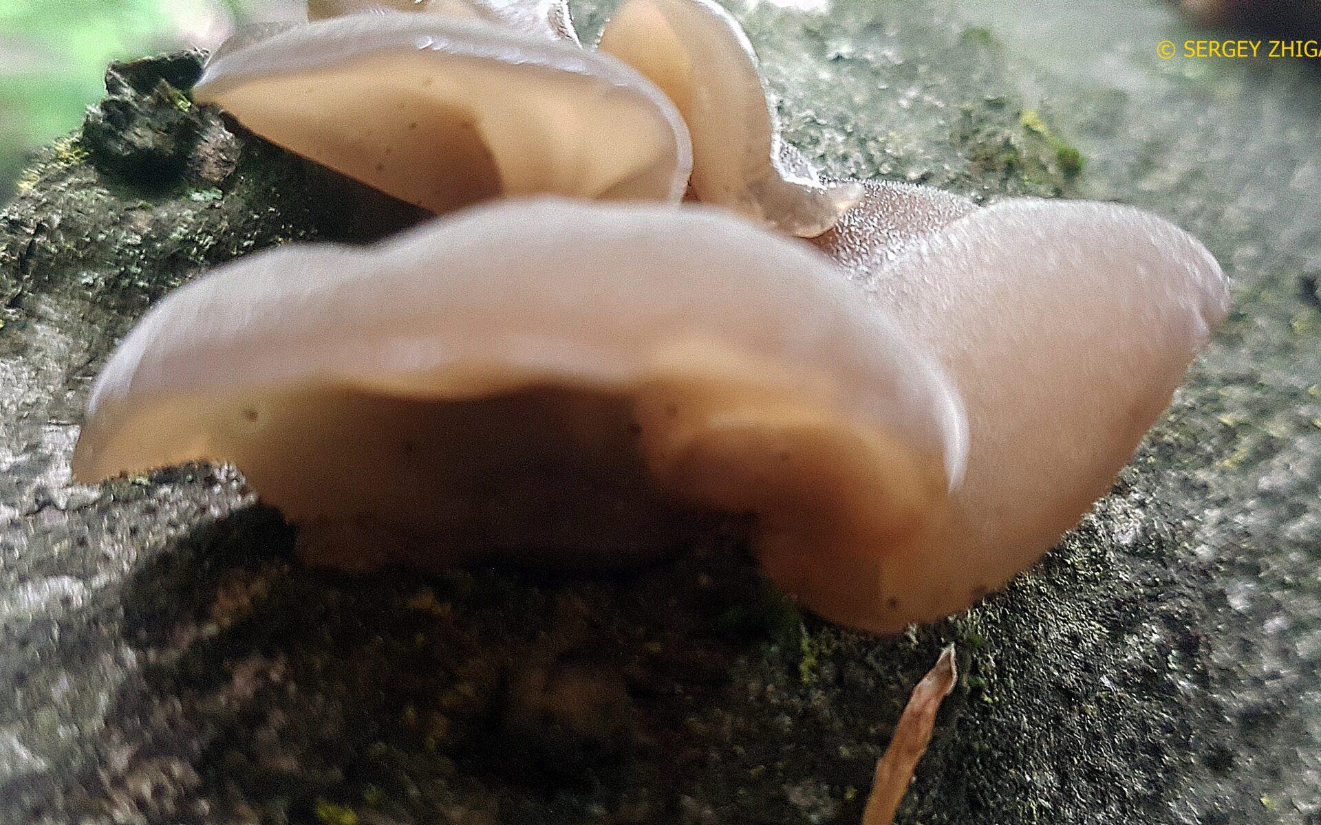 Аурикулярия уховидная (Иудино ухо) Auricularia auricula-judae