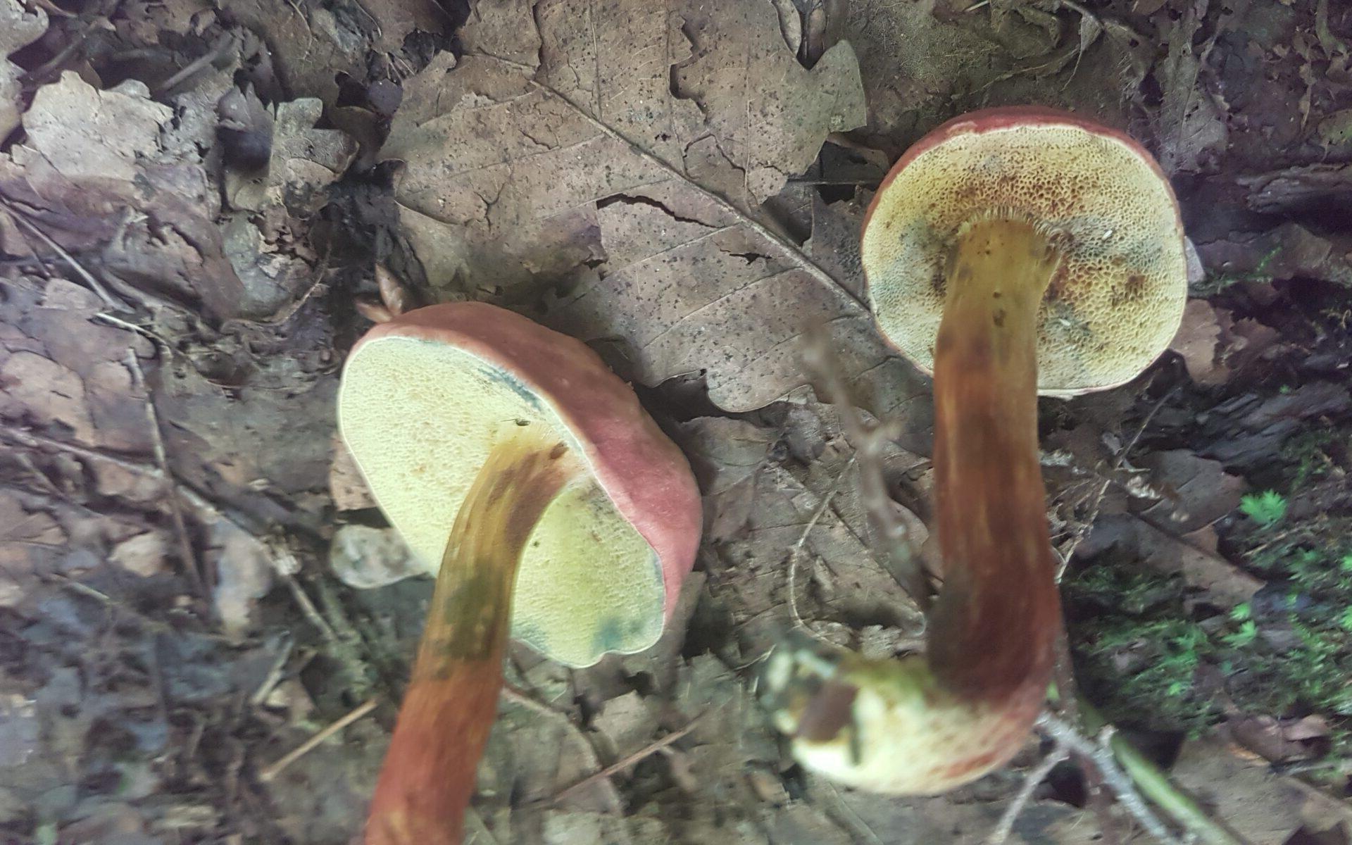 Моховик красный Hortiboletus rubellus