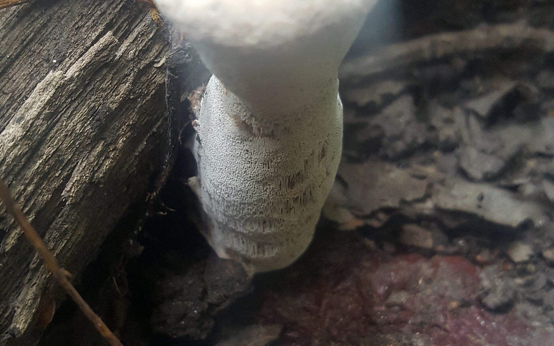 Трутовик лакированный (Гриб Рейши) Ganoderma lucidum