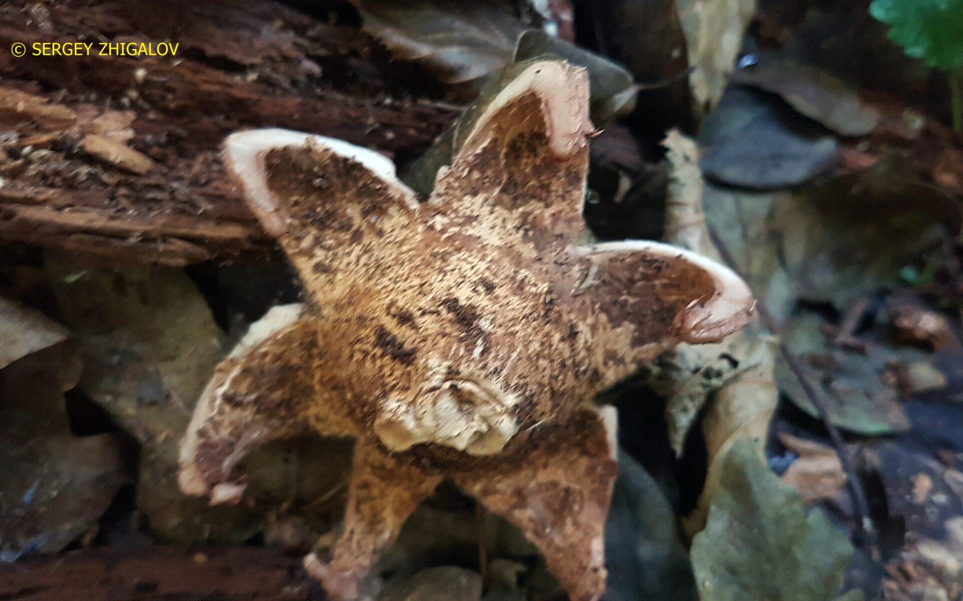 Звездовик бахромчатый Geastrum fimbriatum