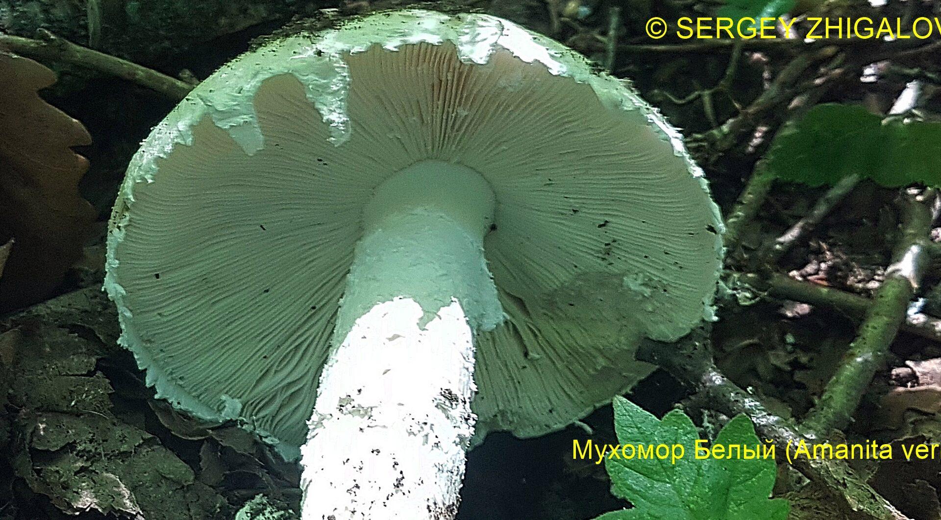 Мухомор белый (Мухомор весенний) Amanita verna