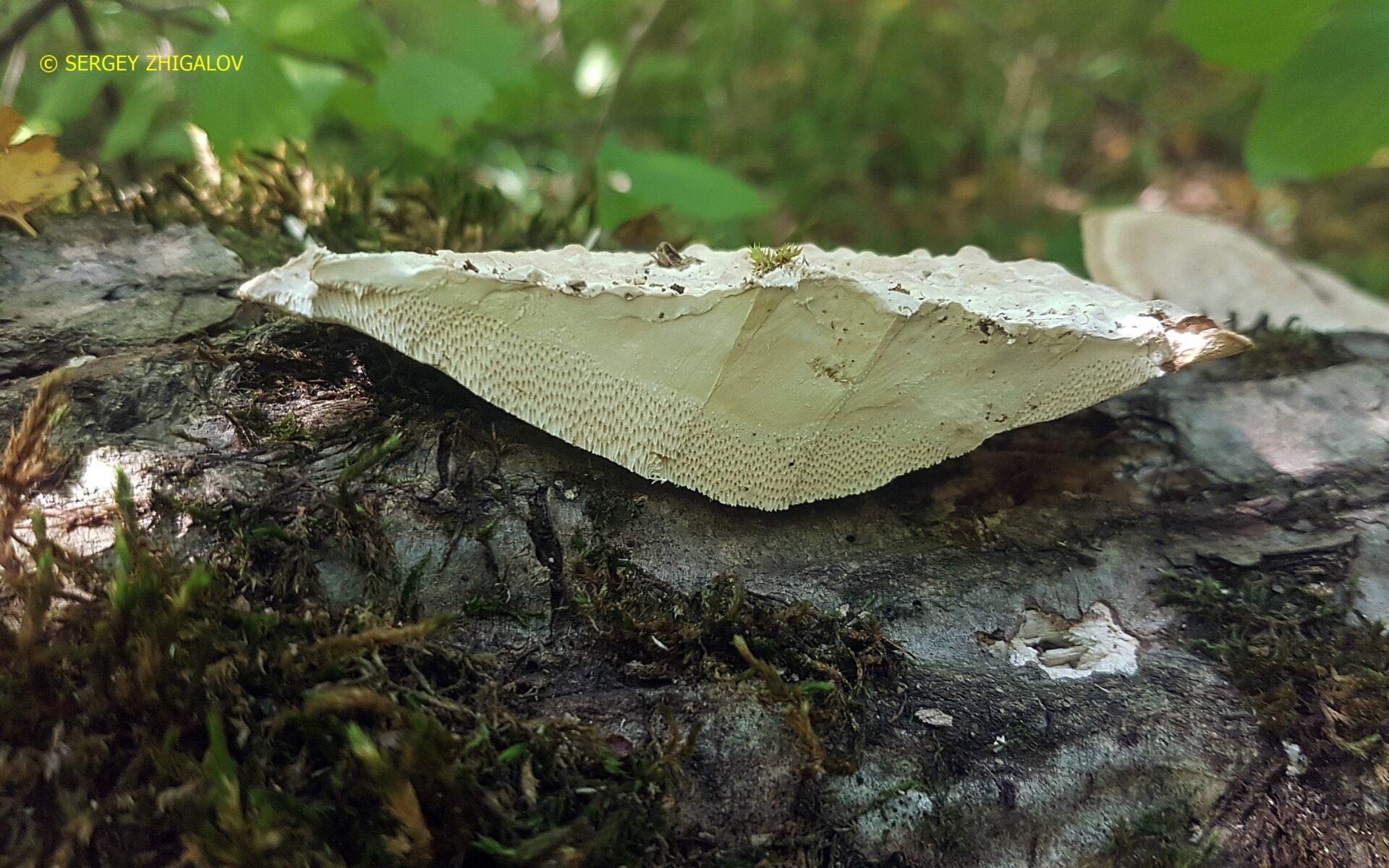 Трутовик бугристый Daedaleopsis confragosa