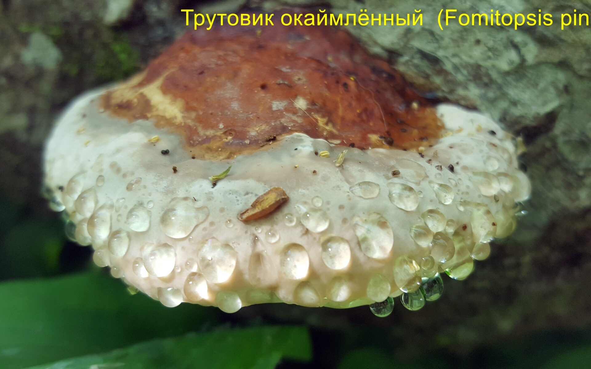 Трутовик окаймлённый Fomitopsis pinicola