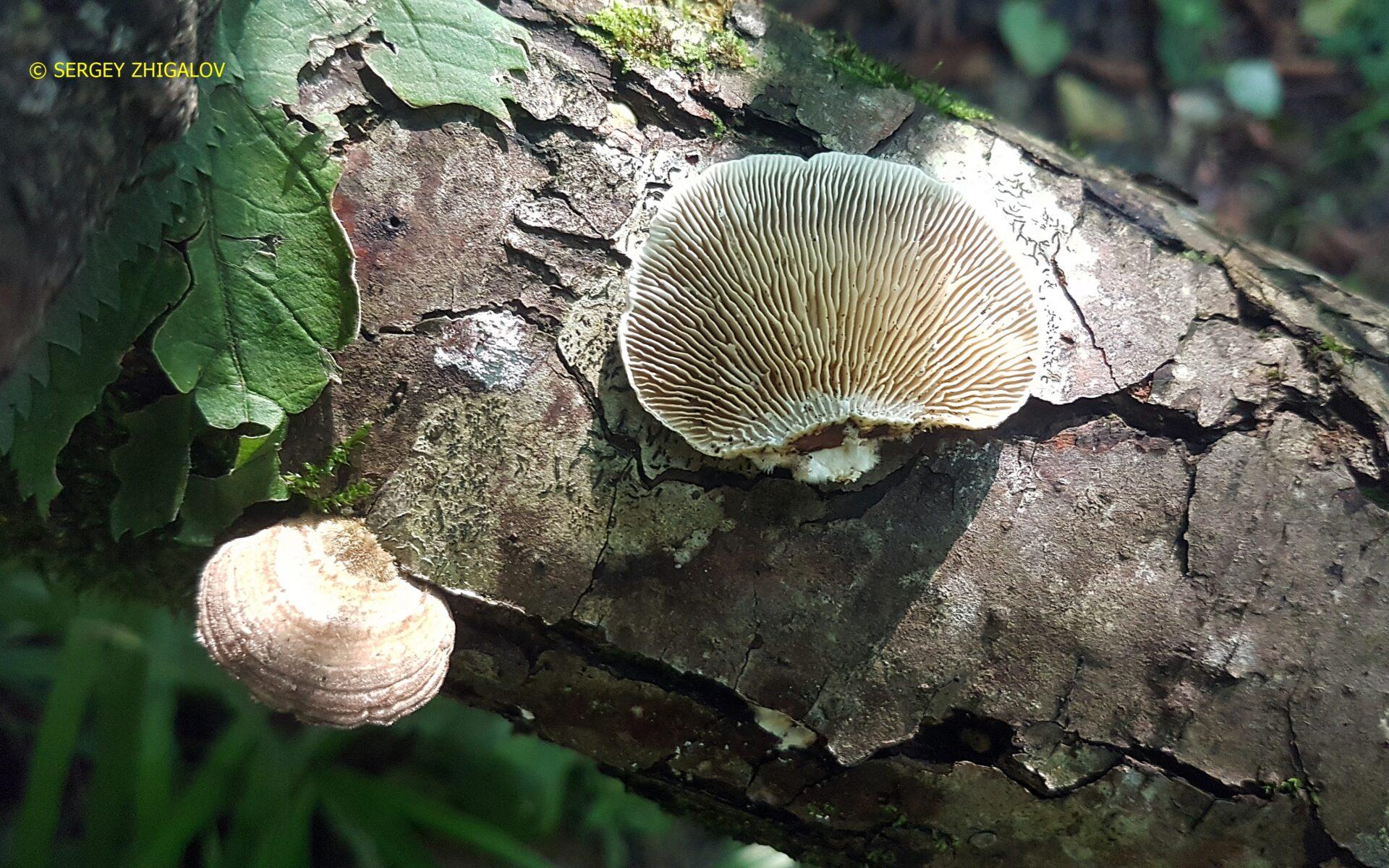 Лензитес берёзовый Lenzites betulina