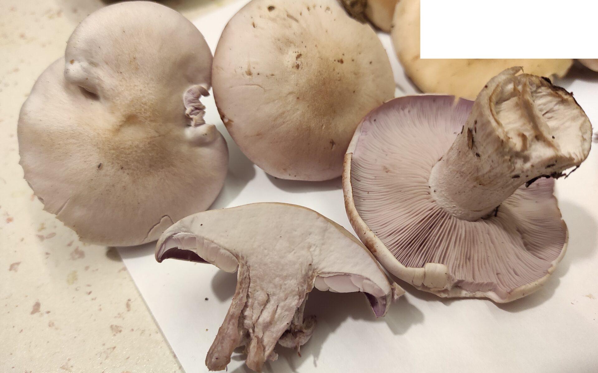 Рядовка серовато-сиреневая Lepista glaucocana