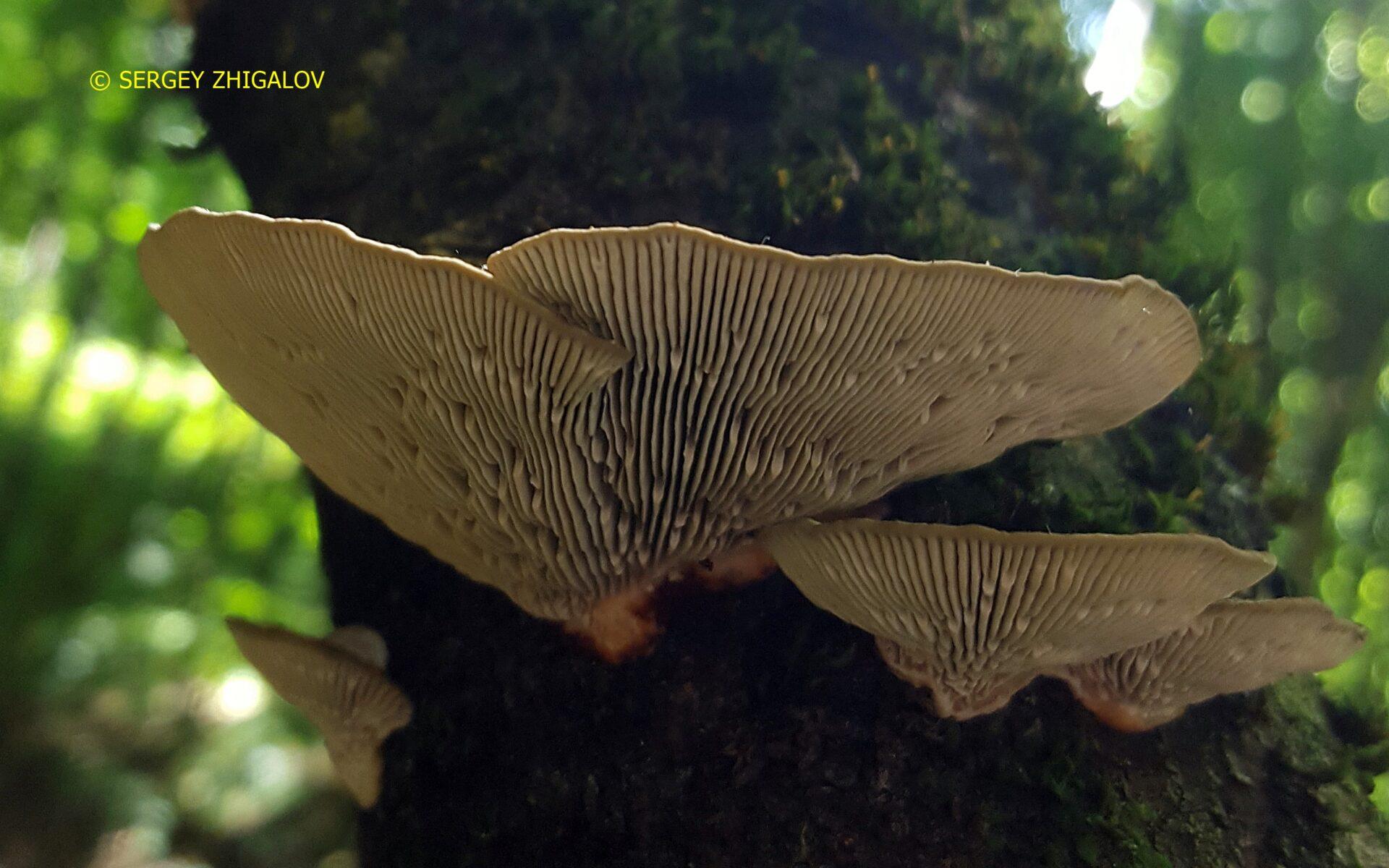 Дедалеопсис трехцветный Daedaleopsis tricolor