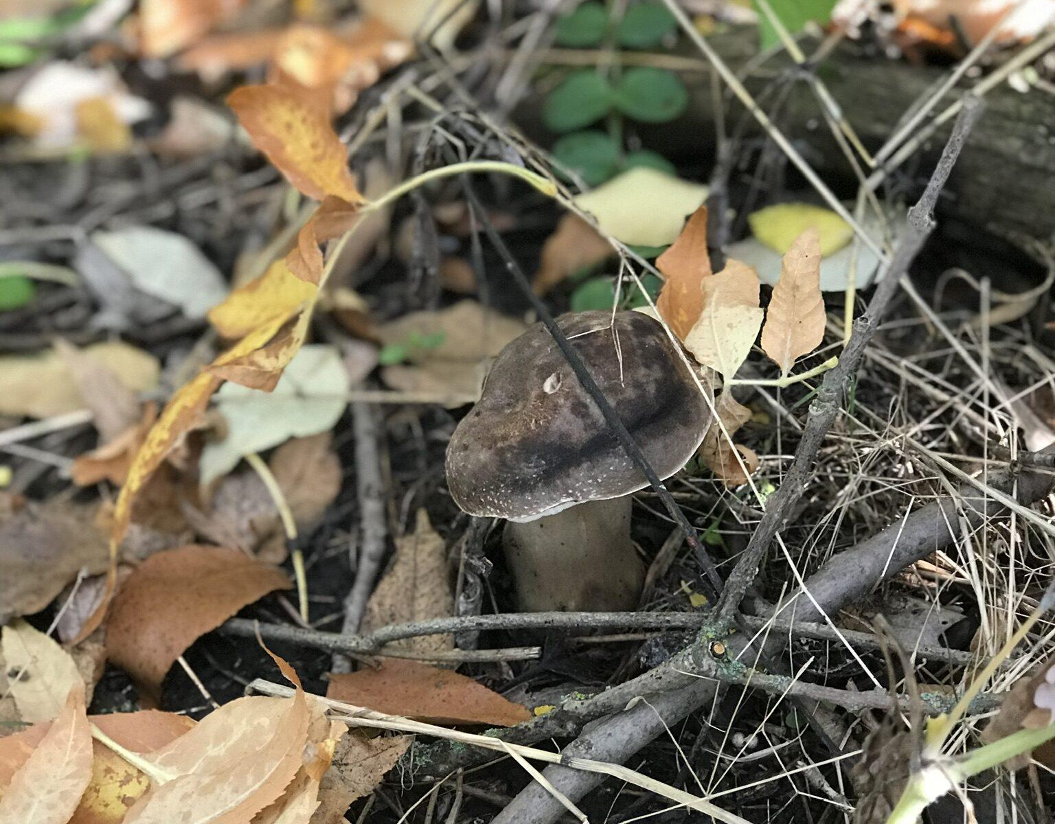 Подберезовик жестковатый Leccinum duriusculum