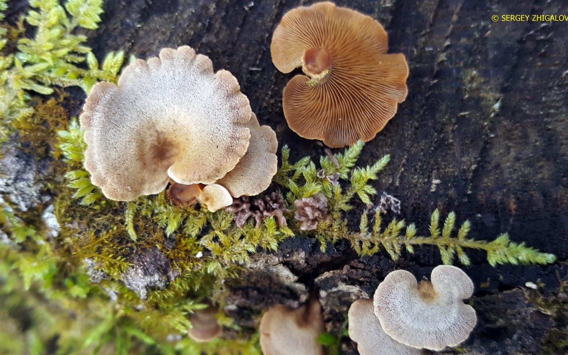 Панеллюс вяжущий Panellus stipticus