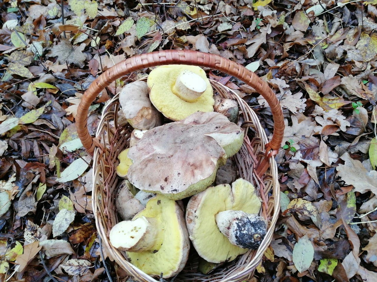 Полубелый гриб Hemileccinum impolitum