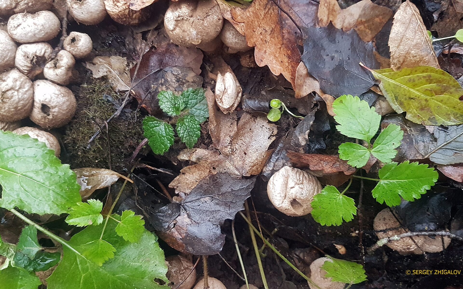 Дождевик съедобный Lycoperdon perlatum