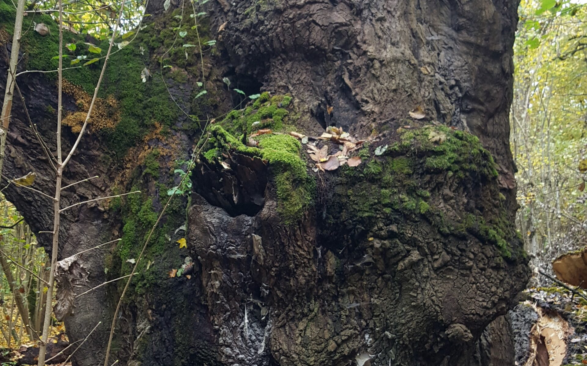Ганодерма смолистая Ganoderma resinaceum