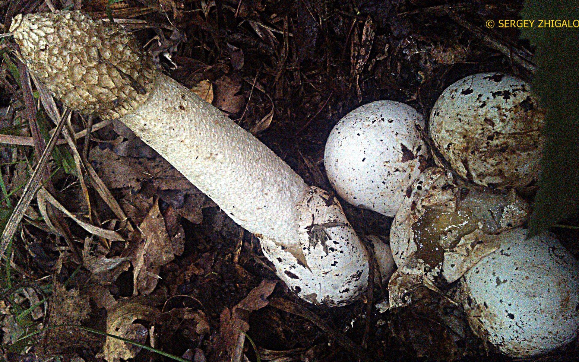 Весёлка обыкновенная Phallus impudicus