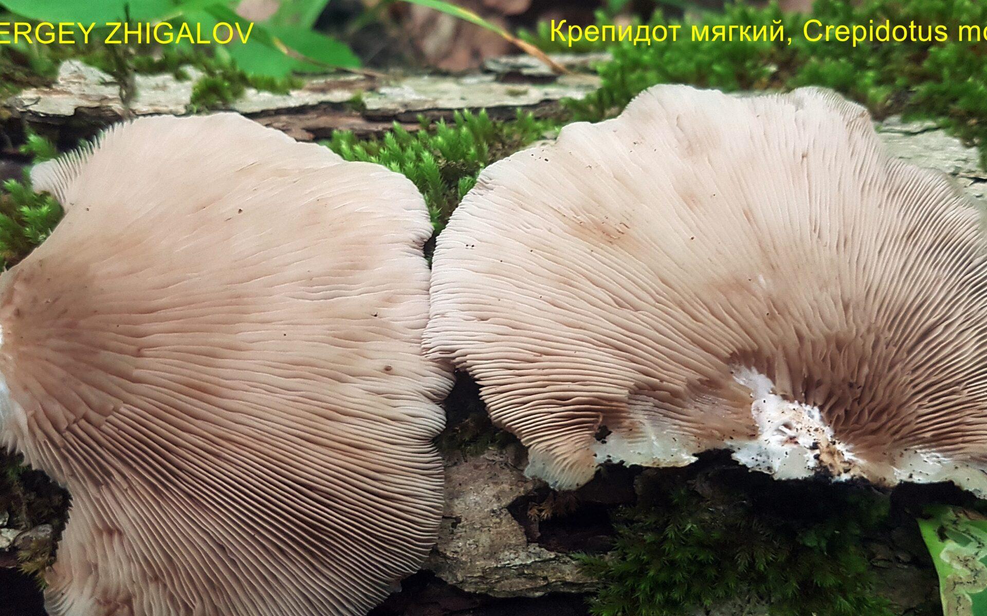 Крепидот мягкий Crepidotus mollis