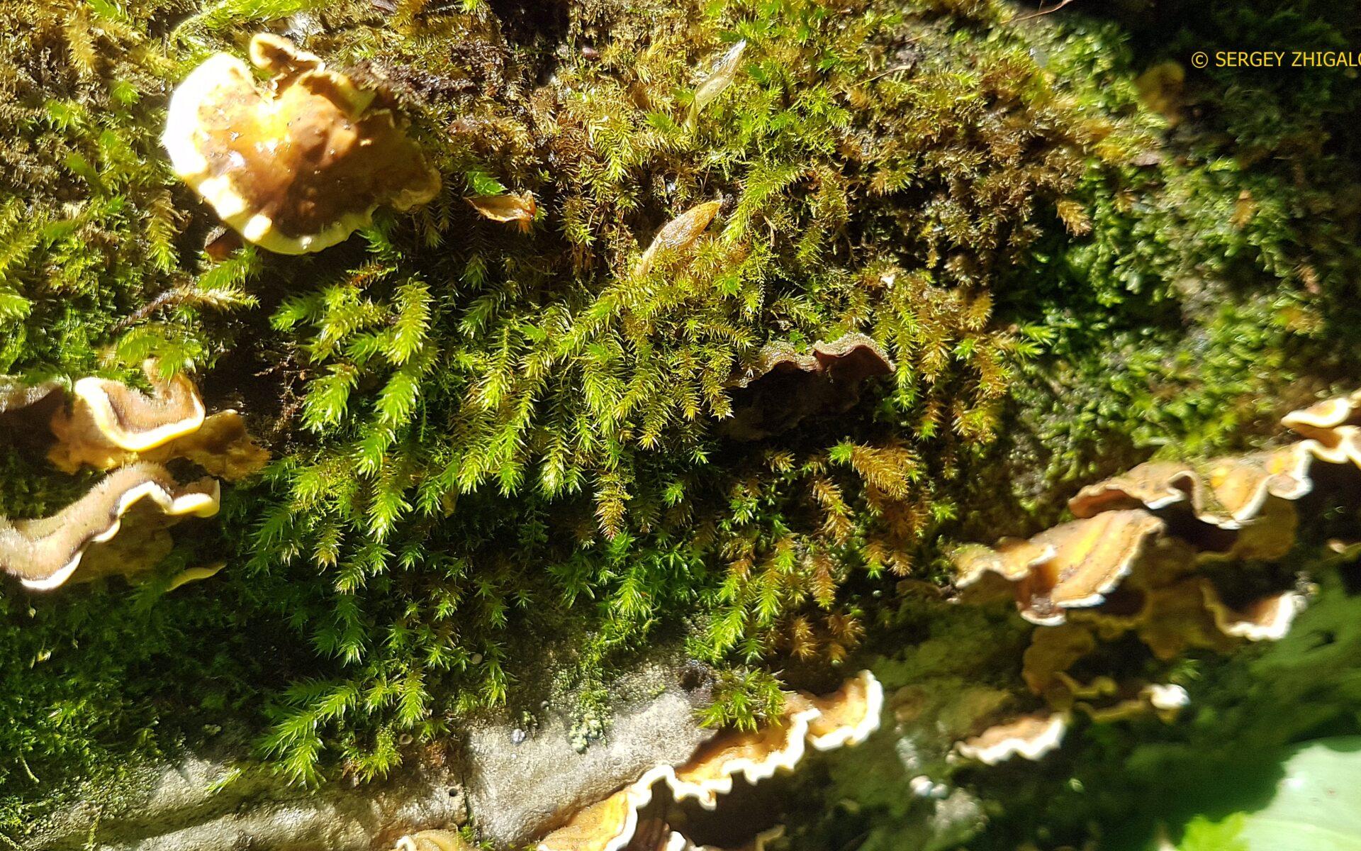 Стереум жёстковолосистый Stereum hirsutum