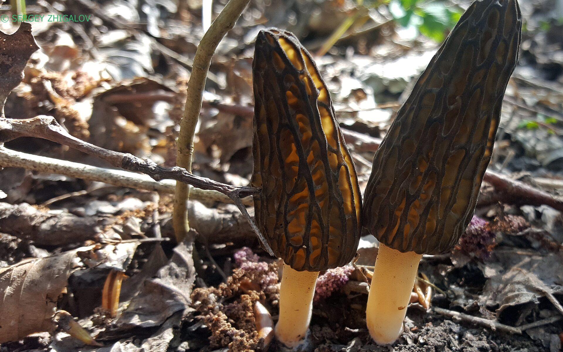 Сморчок конический Morchella esculenta