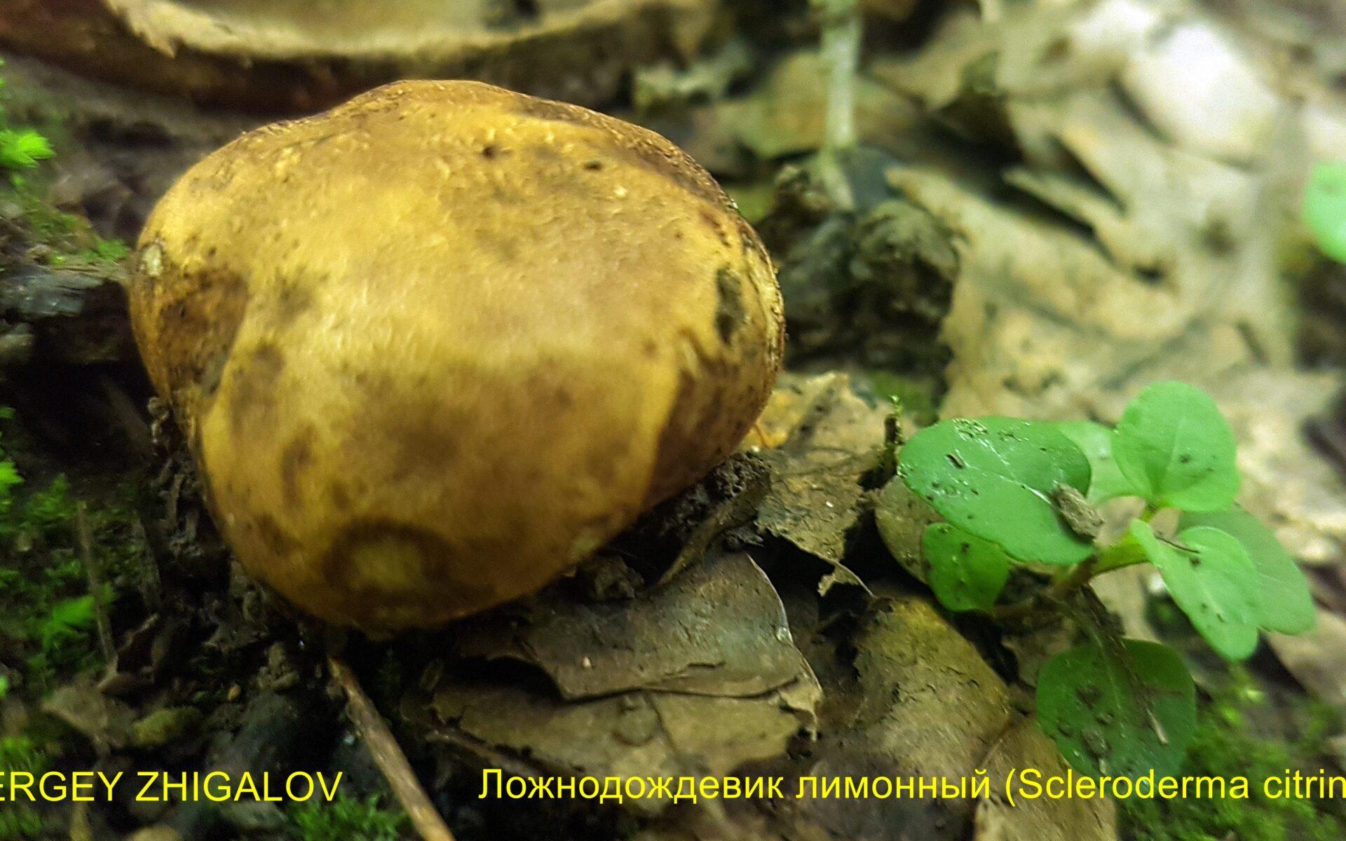 Ложнодождевик обыкновенный Scleroderma citrinum