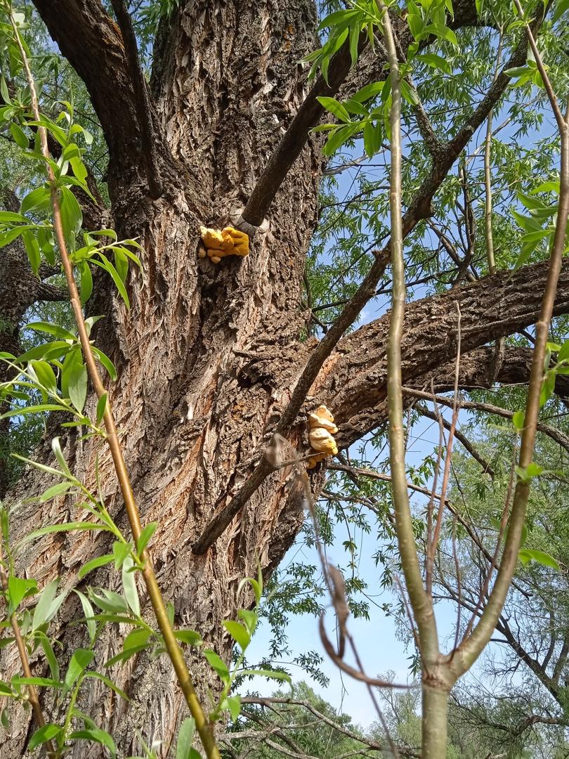 Трутовик серно-жёлтый Laetiporus sulphureus