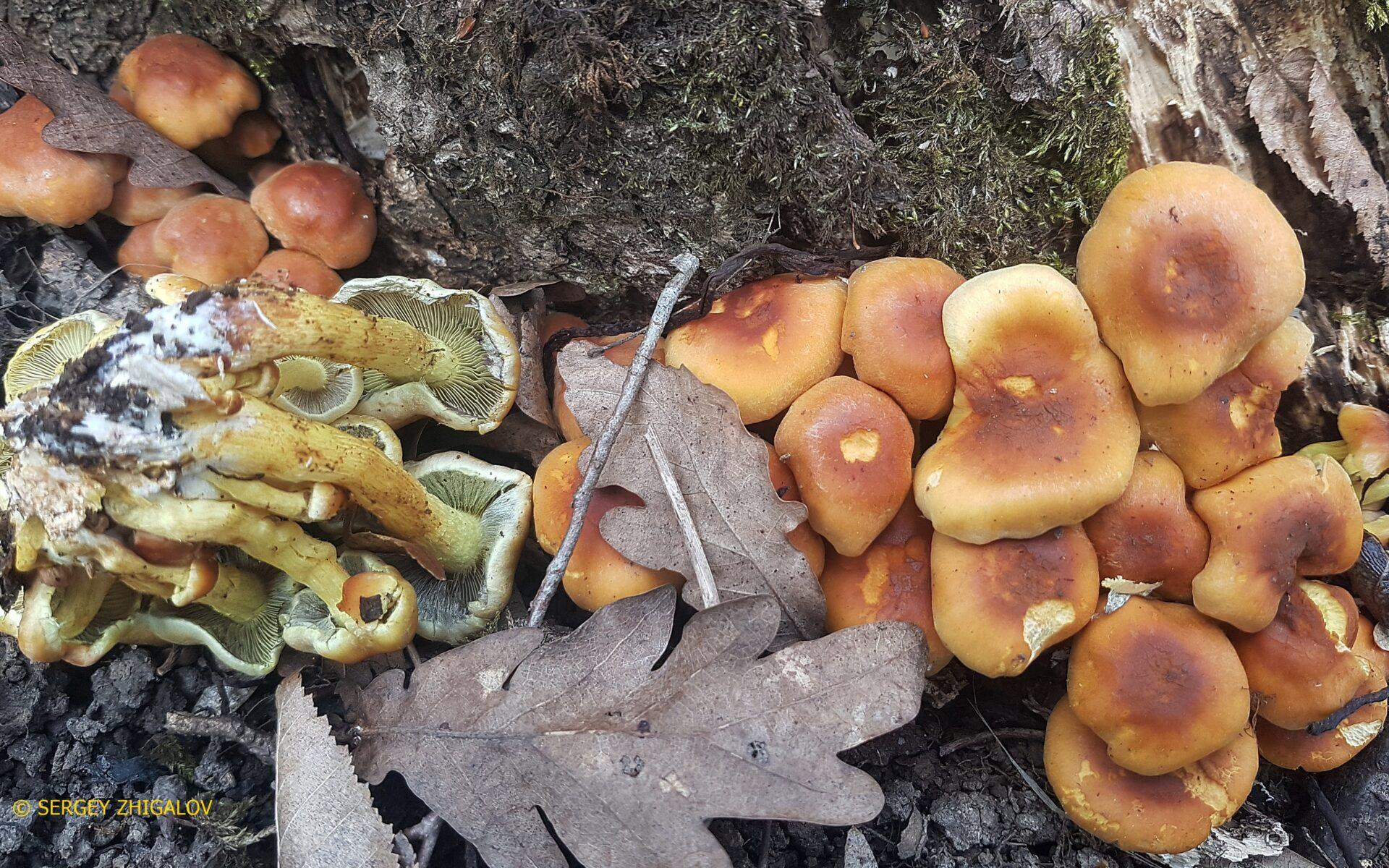 Ложноопёнок серно-жёлтый Hypholoma fasciculare