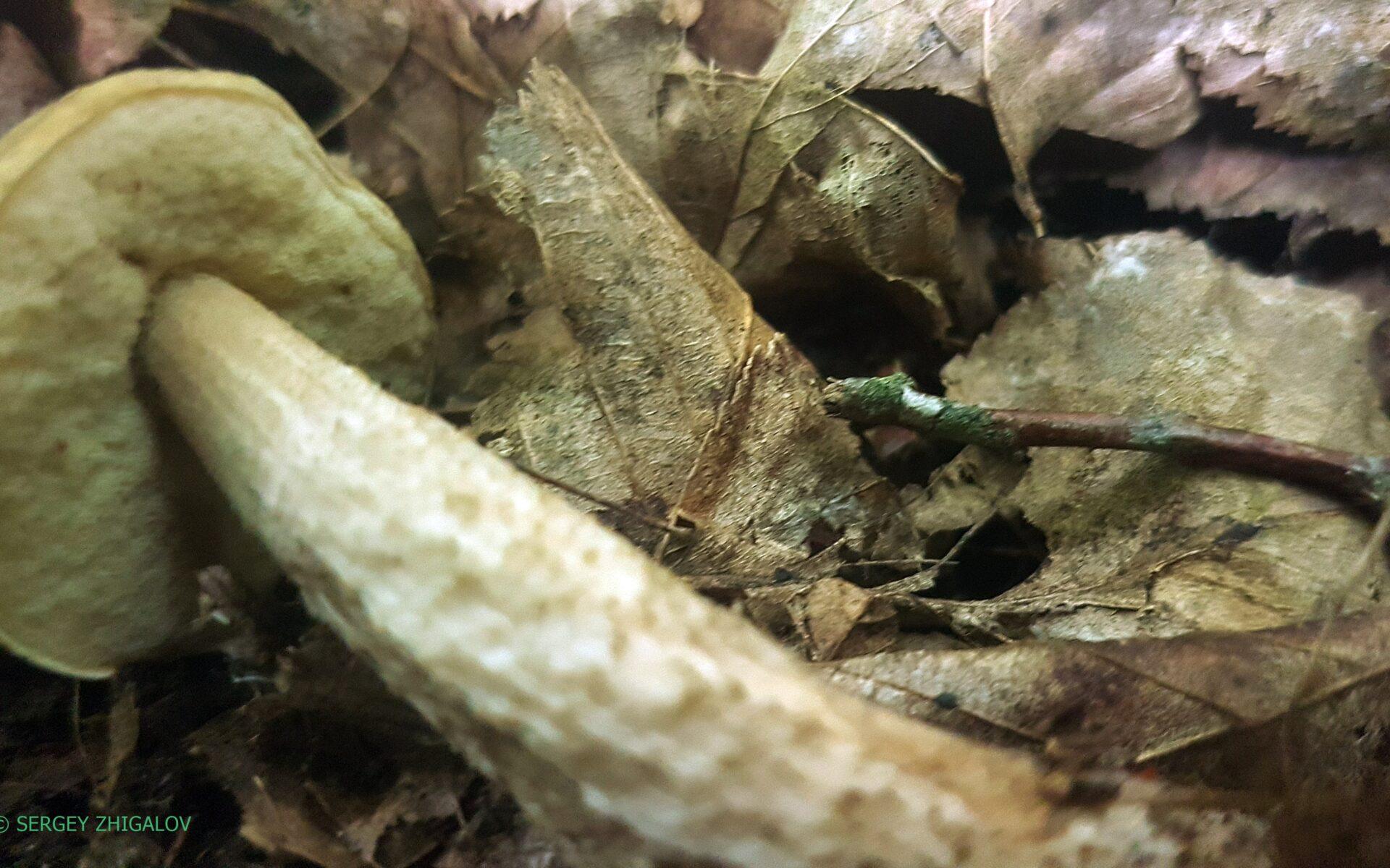 Грабовик Leccinellum pseudoscabrum