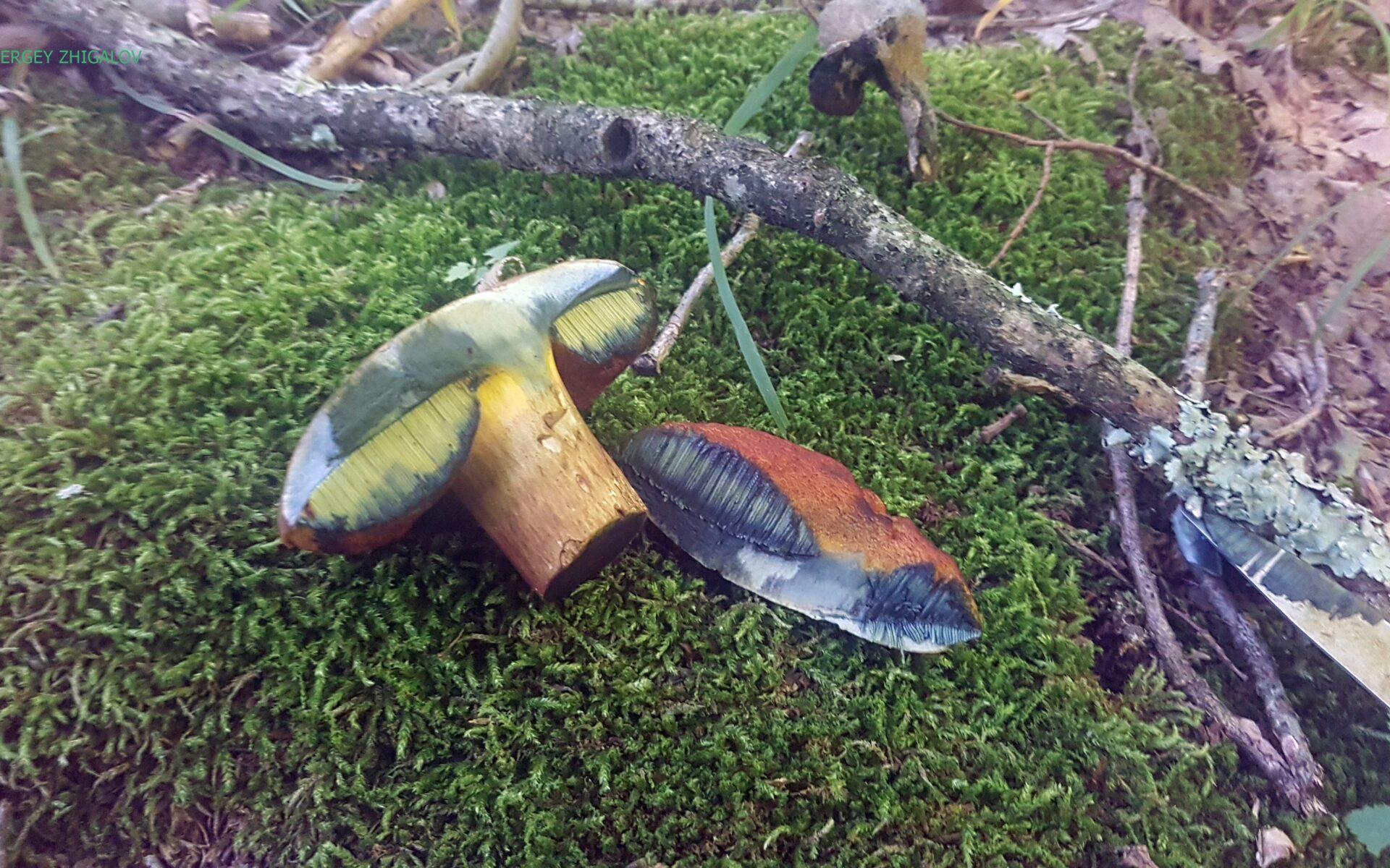 Дубовик крапчатый Neoboletus erythropus