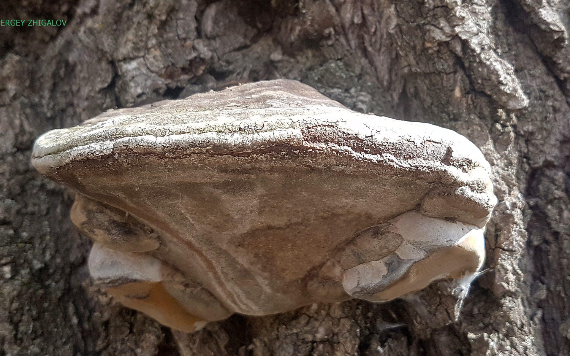 Трутовик ложный обожжённый Phellinus igniarius