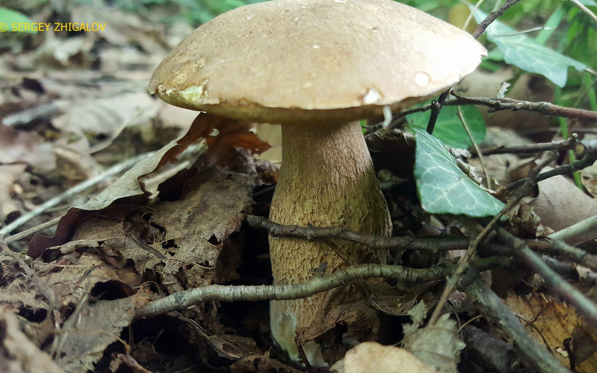 Белый гриб дубовый (Боровик сетчатый) Boletus reticulatus