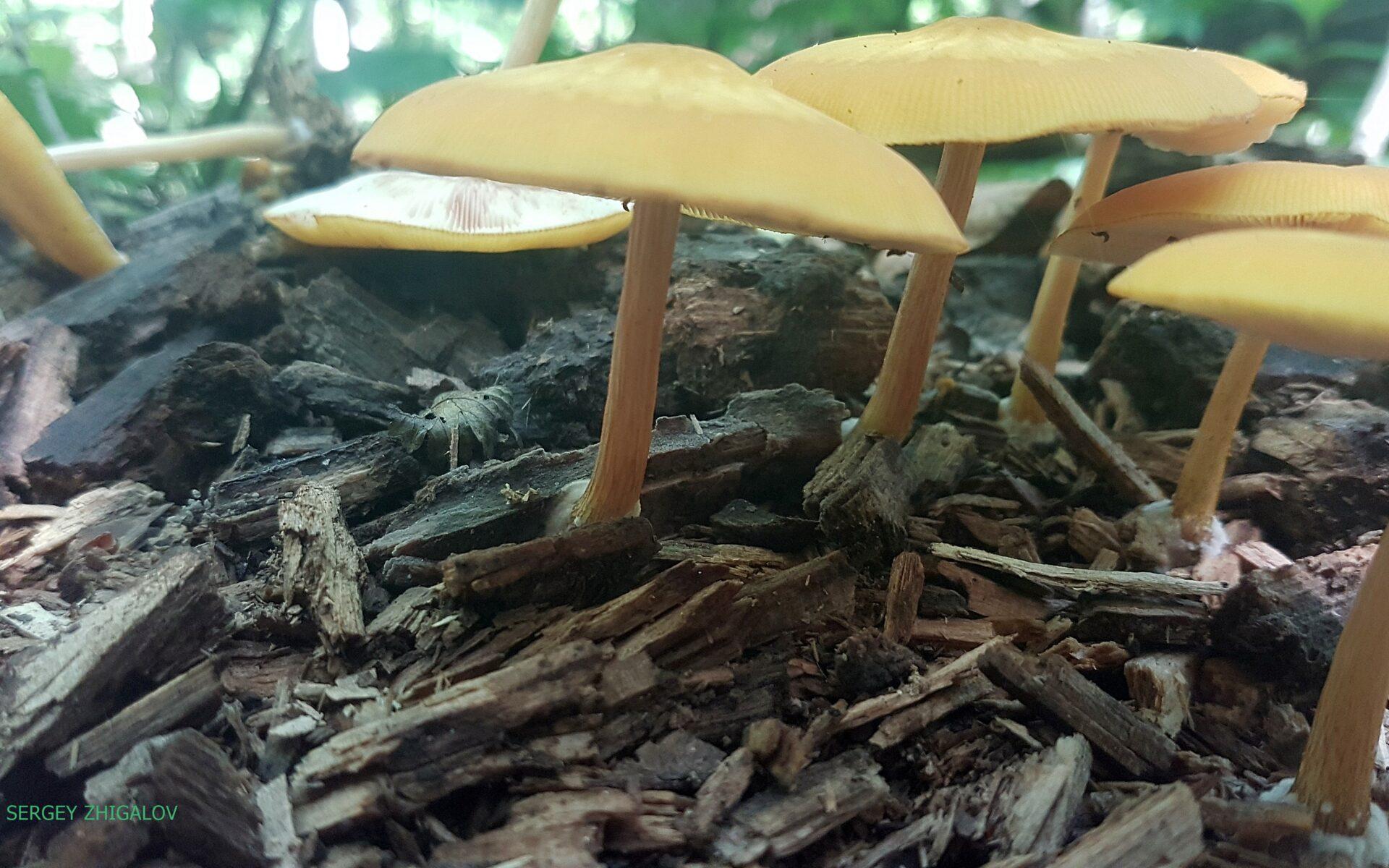 Плютей золотисто-окрашенный Pluteus chrysophaeus