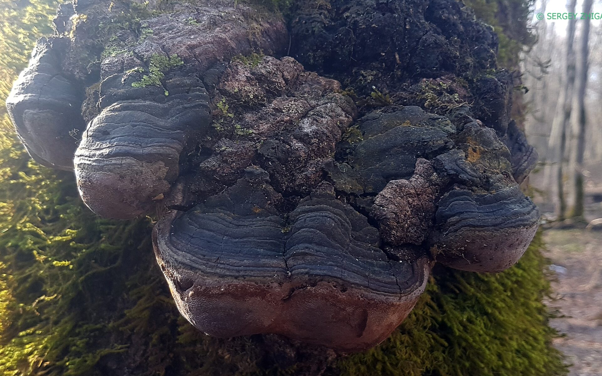 Трутовик ложный Fomitiporia robusta
