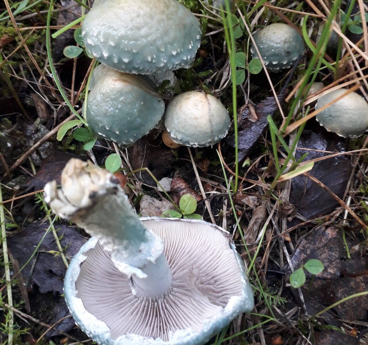 Строфария сине-зеленая Stropharia aeruginosa