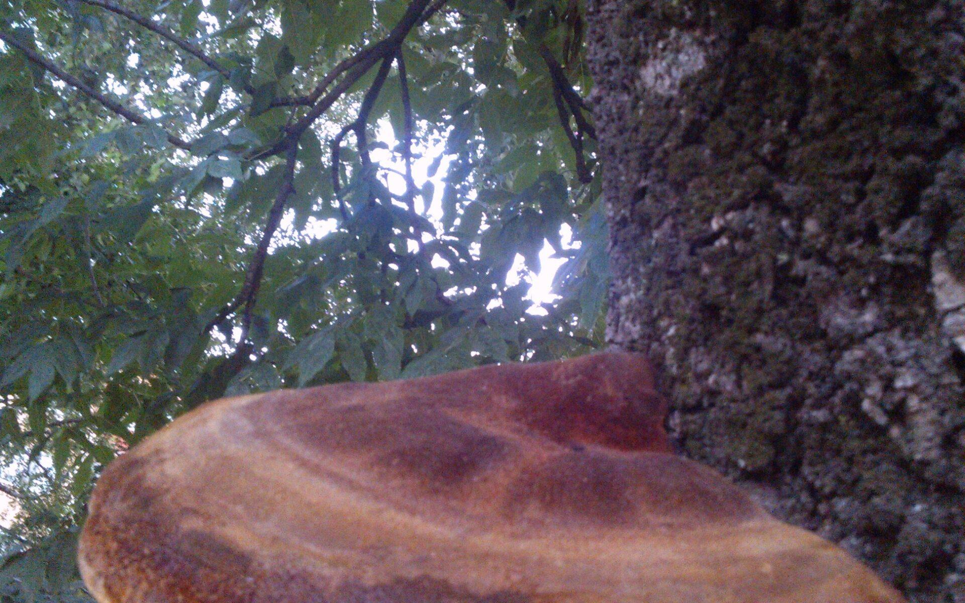 Трутовик щетинистоволосый Inonotus hispidus