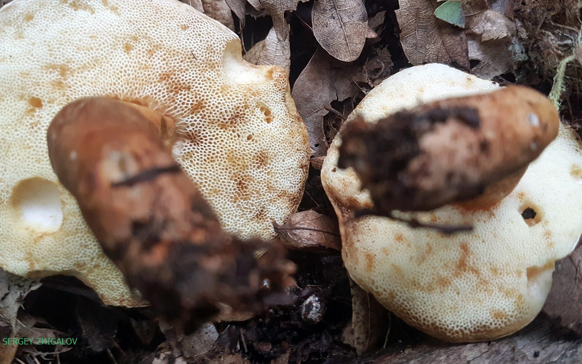 Гиропорус каштановый Gyroporus castaneus