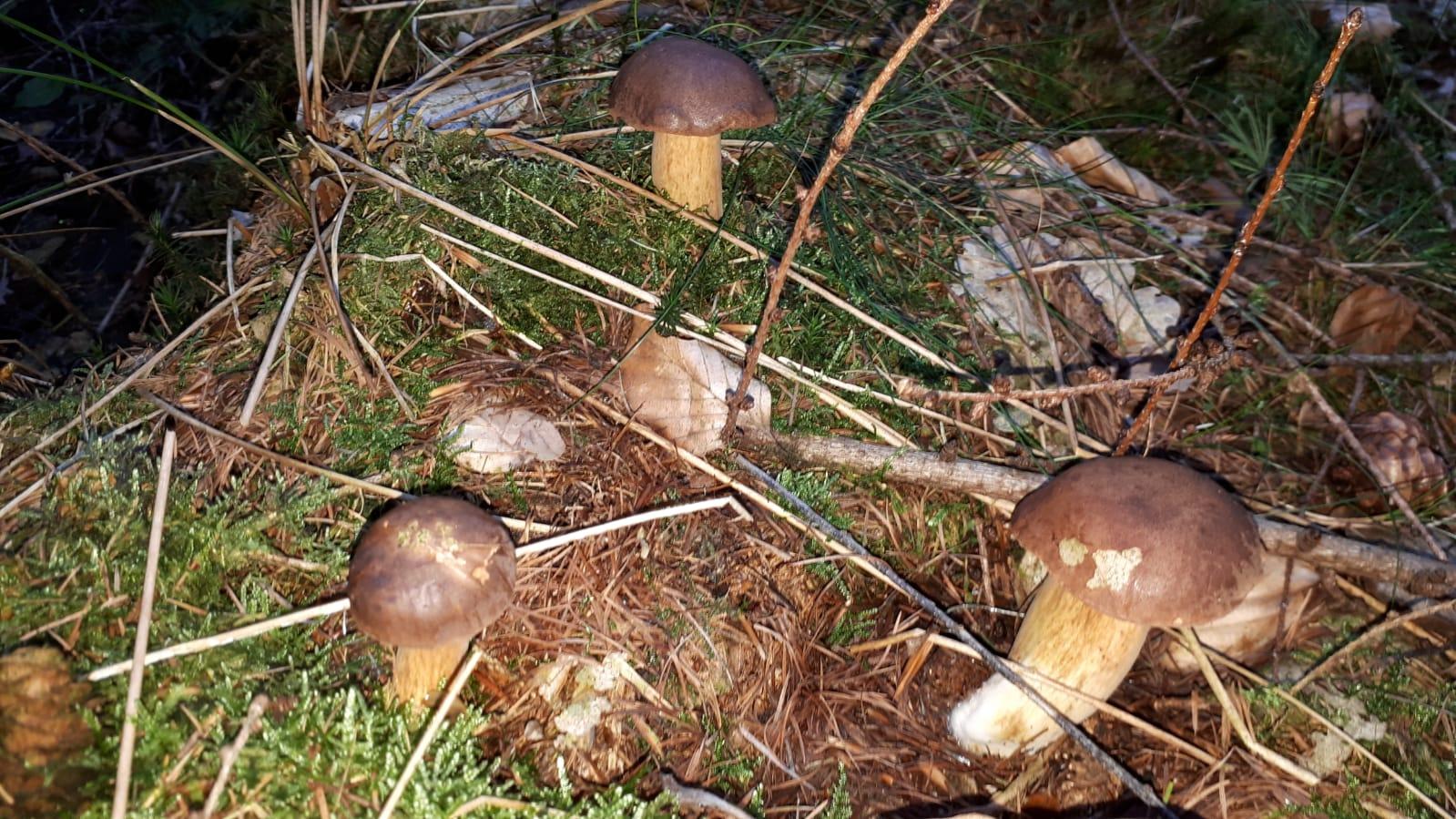 Польский гриб Imleria badia