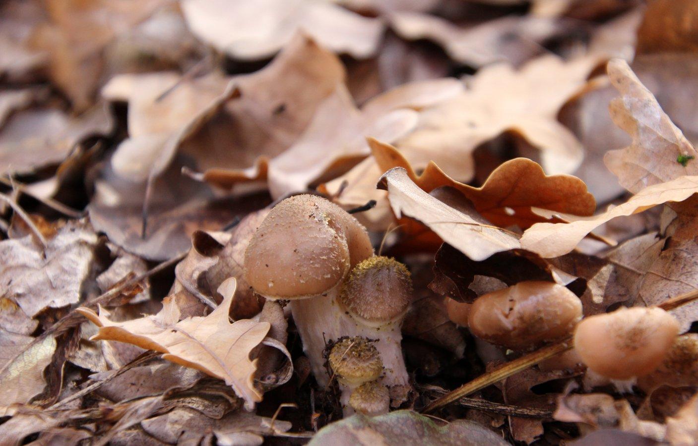 Опёнок осенний Armillaria mellea; Armillaria borealis