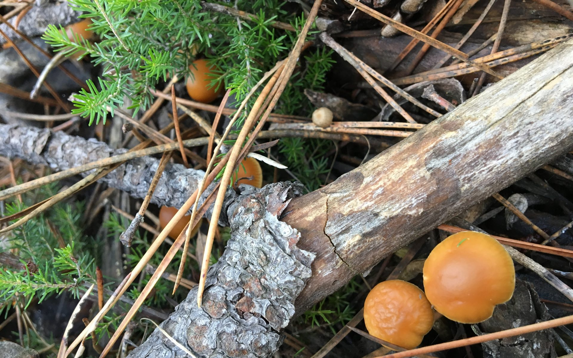 Галерина окаймленная Galerina marginata