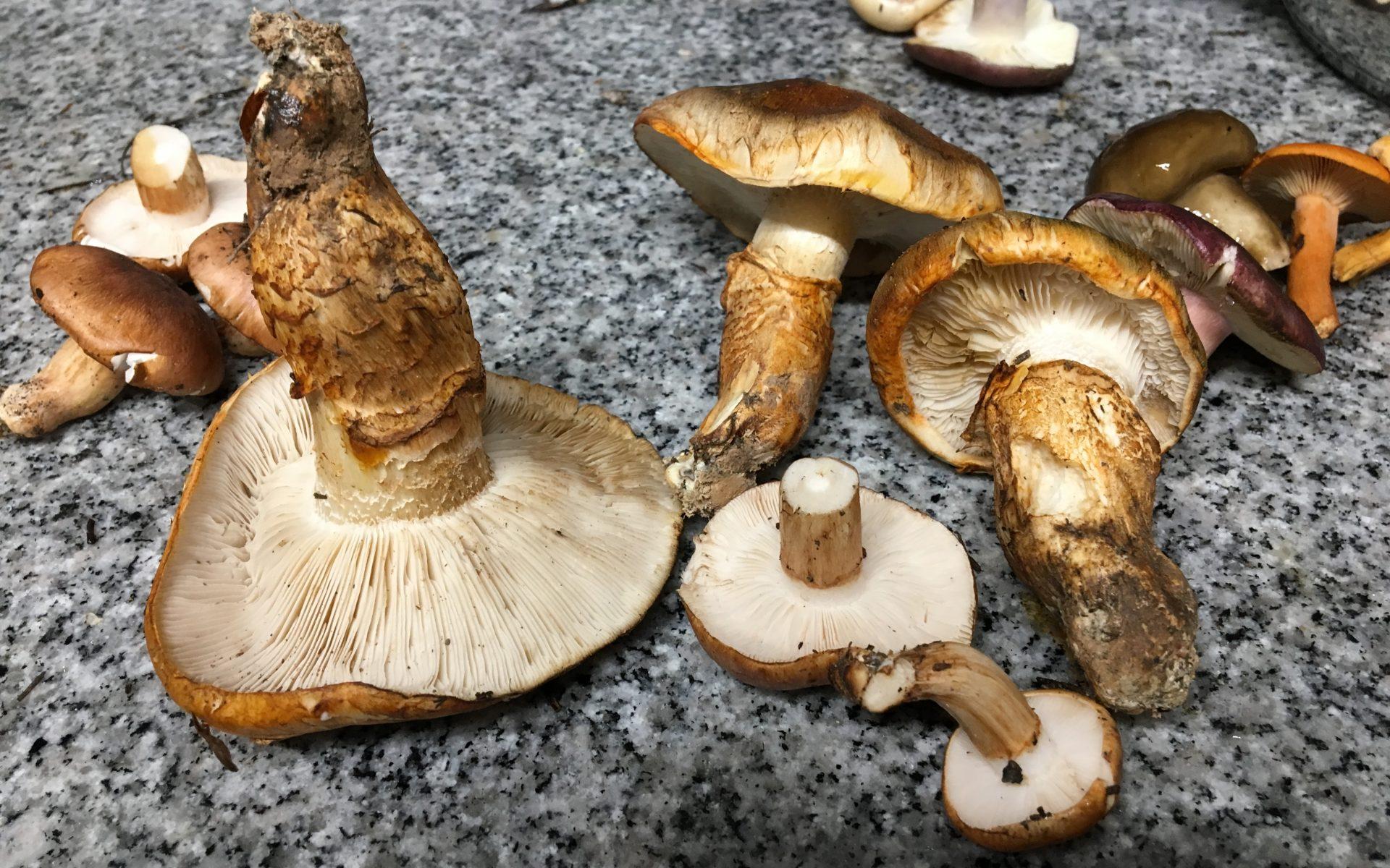 Рядовка перевязанная Tricholoma Focale