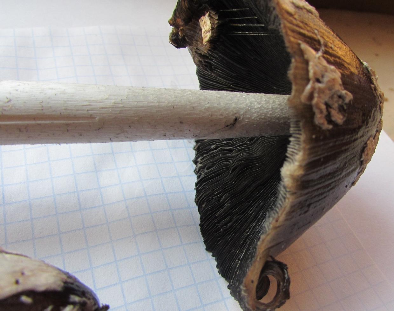 Навозник дятловый Coprinopsis picacea