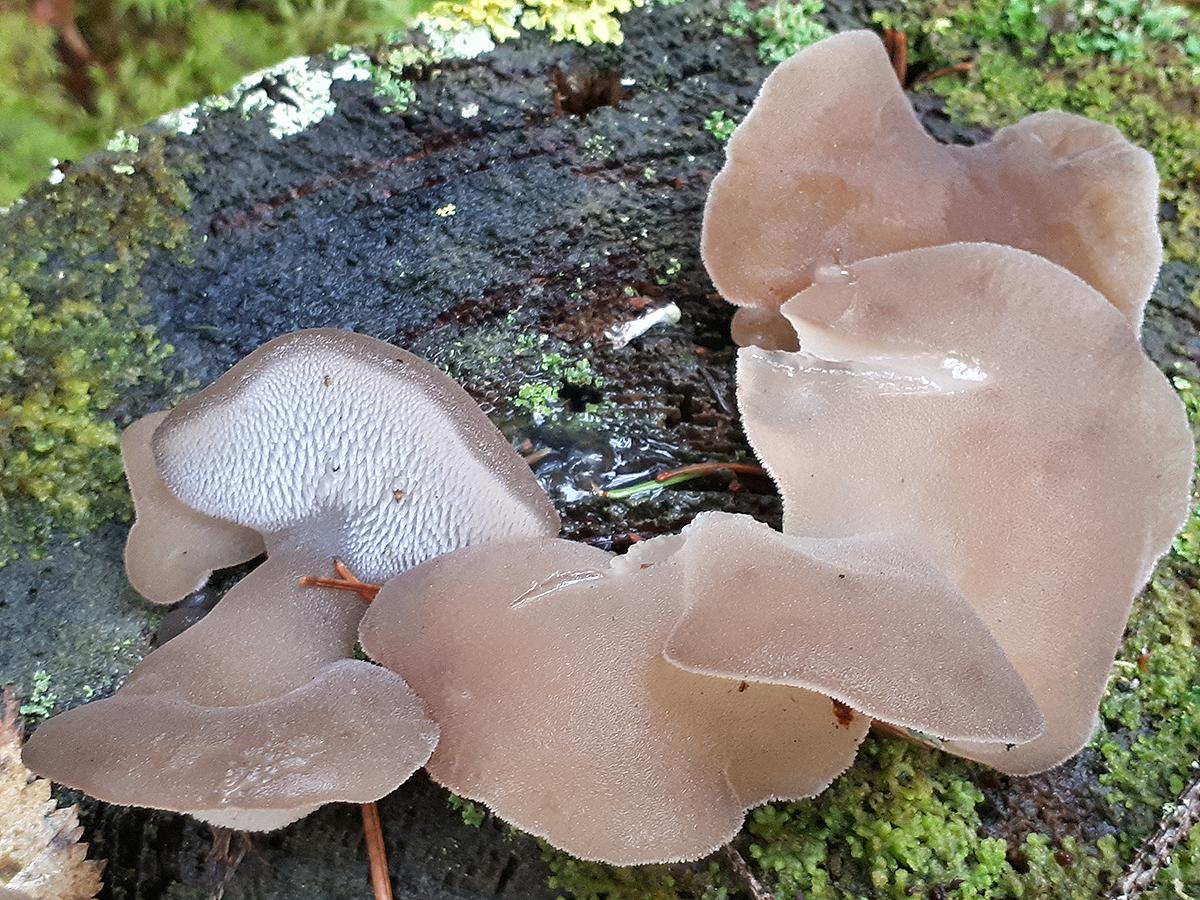 Псевдоежовик студенистый (Ложноежовик) Pseudohydnum gelatinosum