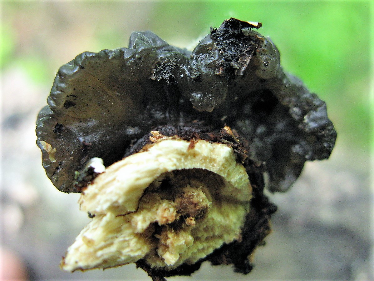 Эксидия железистая Exidia glandulosa