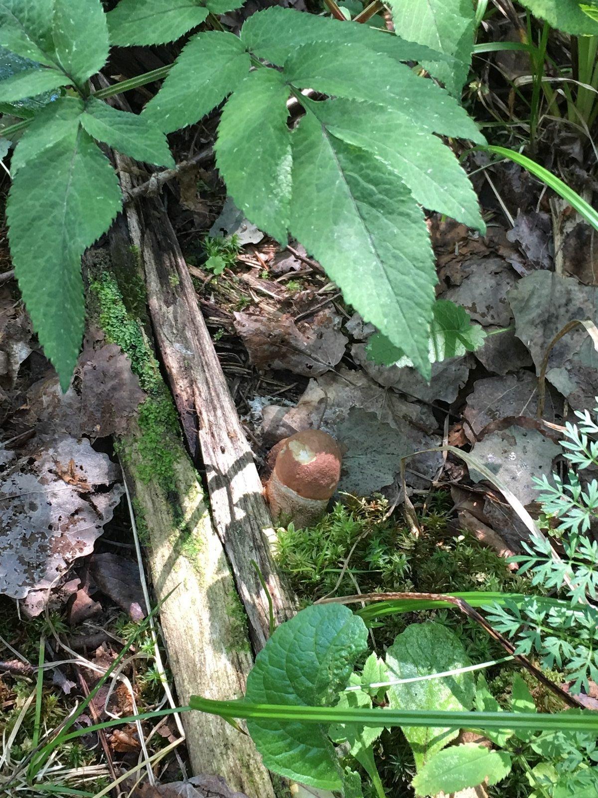 Подосиновик красный Leccinum aurantiacum